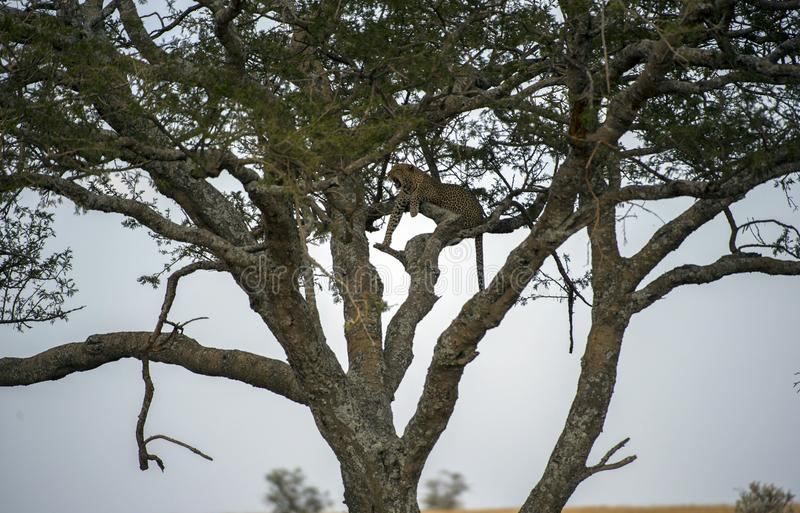 Leopard high up in tree, looking left, with dangling legs stock photo