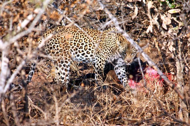 Download Leopard with hunted deer stock image. Image of hunt, hyena - 20460043