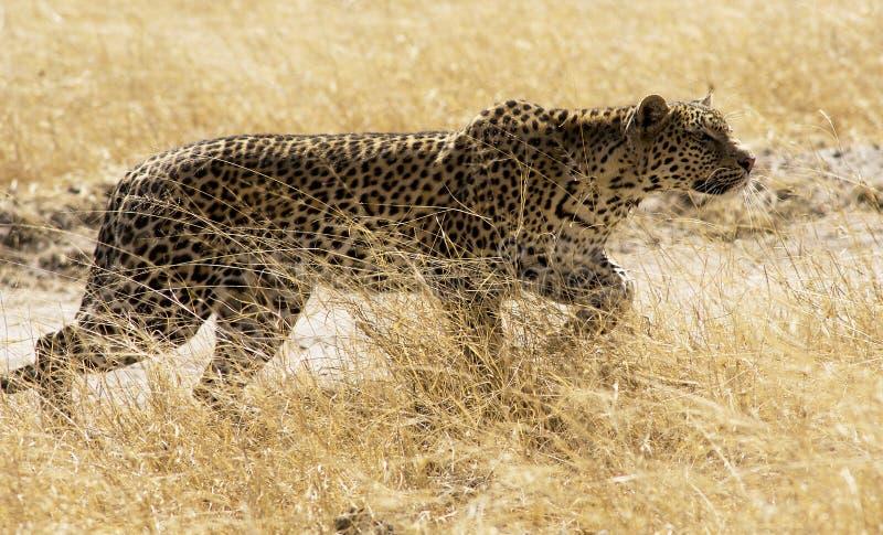 Download Leopard 1 stock image. Image of wildlife, spots, botswana - 33992367