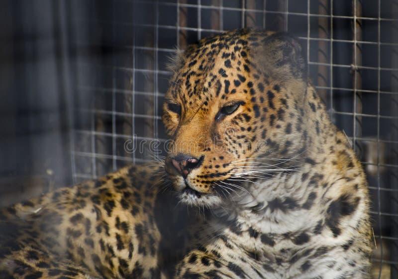 Leopard i buren, prickig panthera i zoo arkivfoto