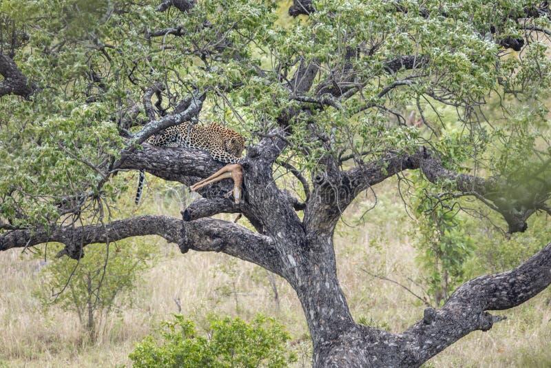 Leopard i den Kruger nationalparken, Sydafrika arkivbilder