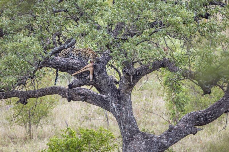 Leopard i den Kruger nationalparken, Sydafrika royaltyfri foto