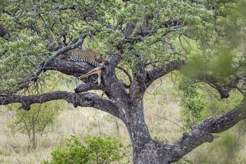 Leopard i den Kruger nationalparken, Sydafrika royaltyfria bilder