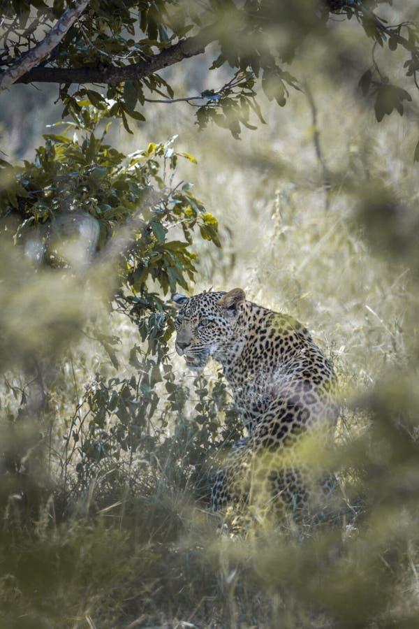 Leopard i den Kruger nationalparken, Sydafrika arkivbild