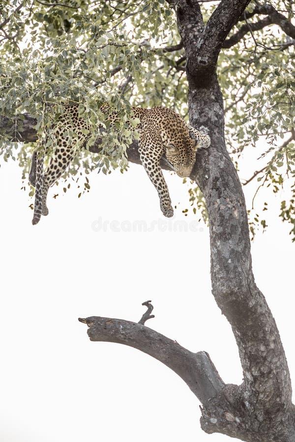 Leopard i den Kruger nationalparken, Sydafrika royaltyfria foton