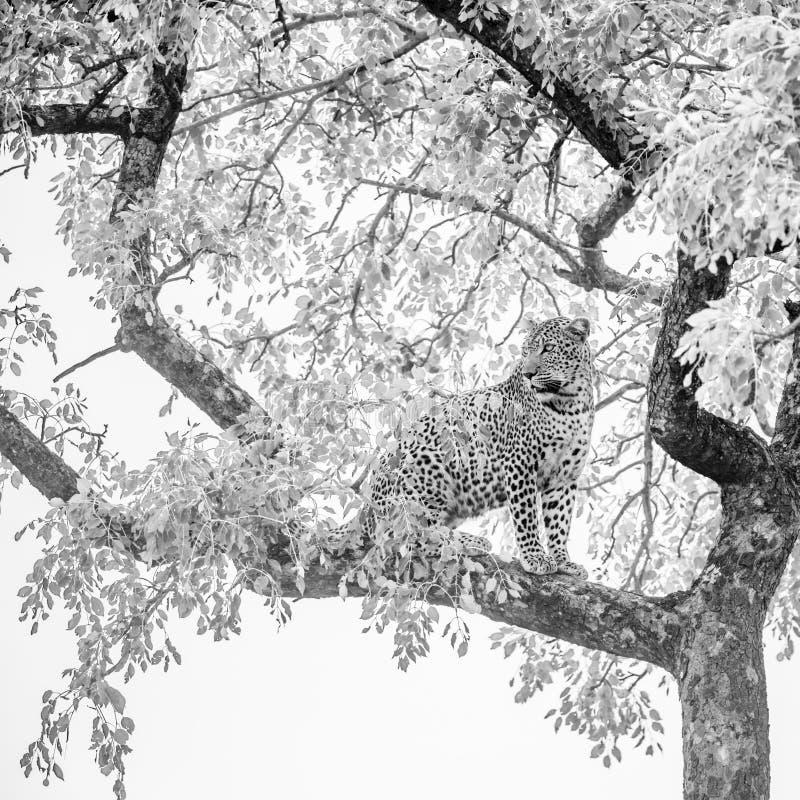 Leopard i den Kruger nationalparken, Sydafrika royaltyfri fotografi