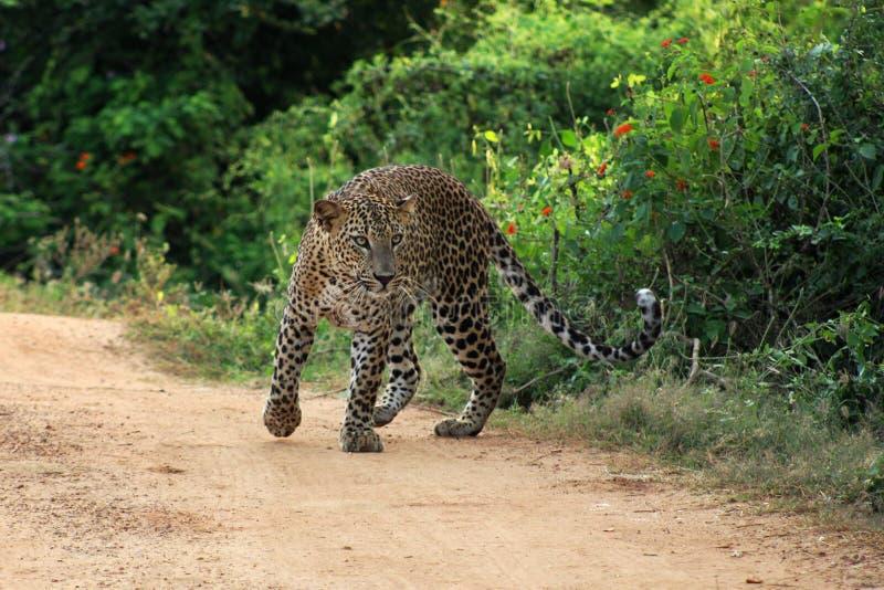 Leopard i den Yala nationalparken i Sri Lanka fotografering för bildbyråer