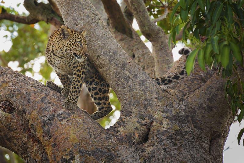 Leopard i en tree royaltyfria foton