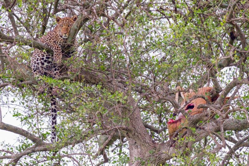 Leopard i träd med impalan arkivbild