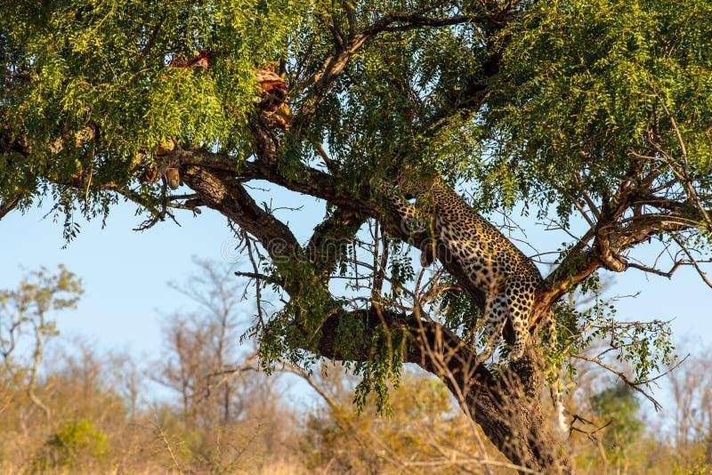 Leopard i träd som vilar bredvid restna av hans byte royaltyfri foto