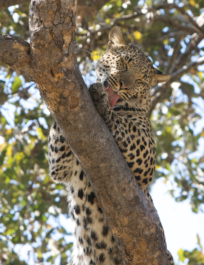 Leopard im Baum stockfotos