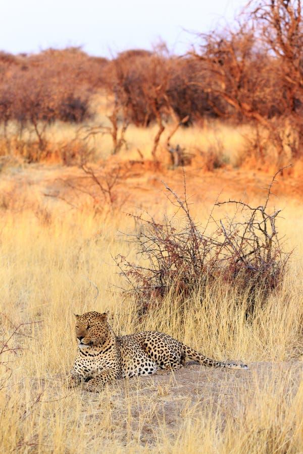 Leopard im Gras bei Sonnenuntergang stockbilder