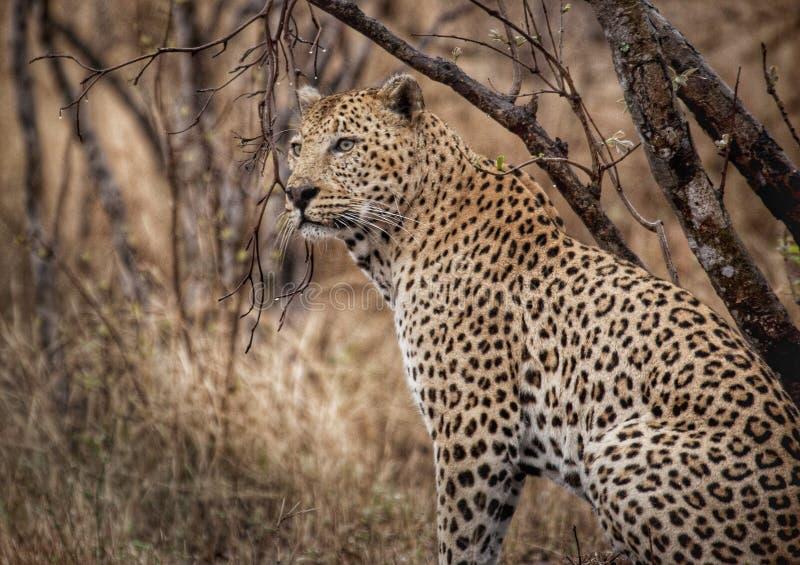 Leopard im Regen stockbild