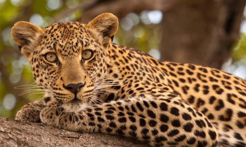 Leopard im wilden lizenzfreies stockfoto