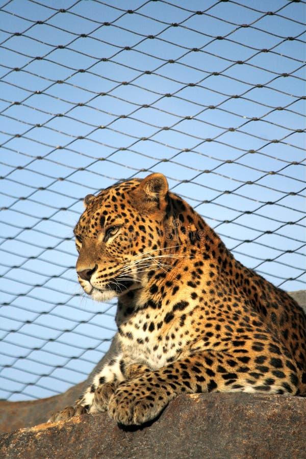 Leopard im Zoo lizenzfreie stockbilder