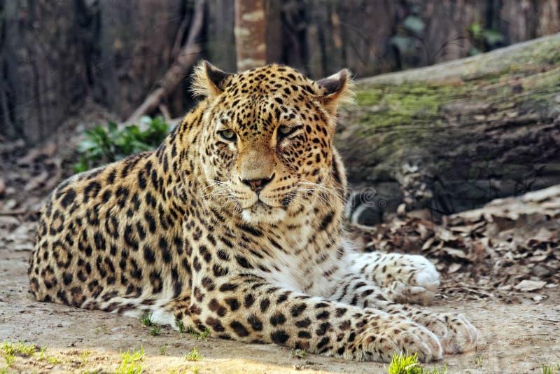 Leopard im Zoo lizenzfreie stockfotos
