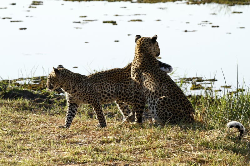 Leopard Interaction. Leopard Mother & cub show their affection for each other in a typical feline way stock photo