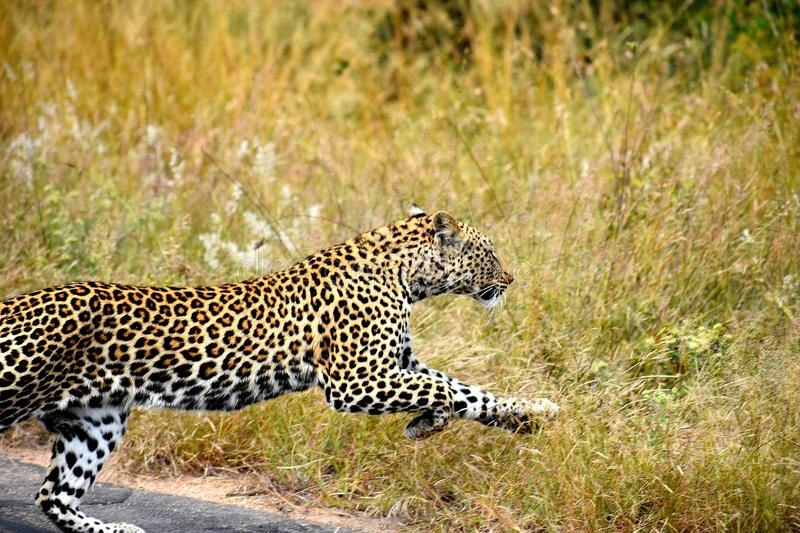 Leopard Jumping royalty free stock photos