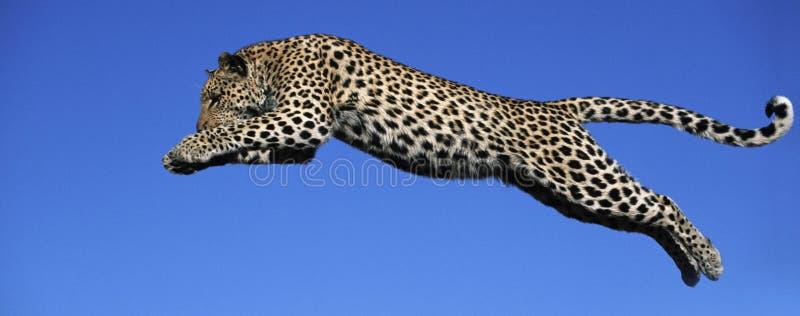 leopard jumps stock photo