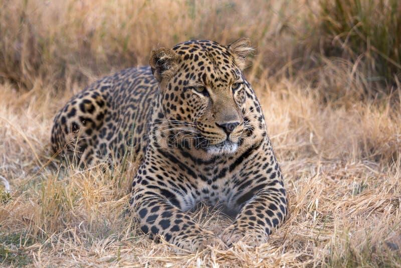 Leopard kruger nationa Park stockbilder