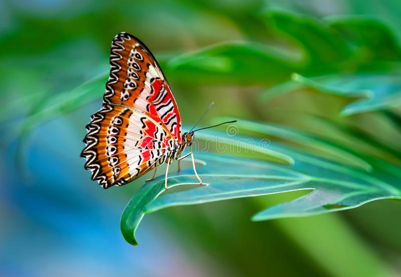 Leopard Lacewing butterfly. Perched on a leaf royalty free stock photography