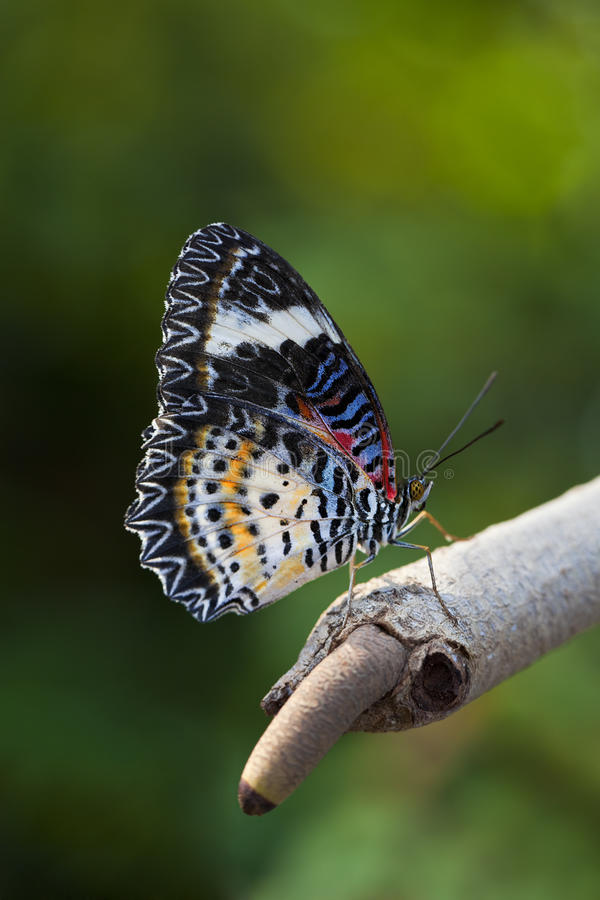 Download Leopard Lacewing Butterfly stock image. Image of lacewing - 28484109