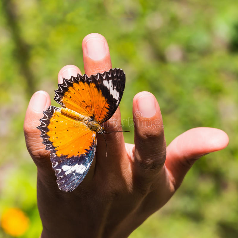 Leopard lacewing butterfly. The leopard lacewing (Cethosia cyane euanthes) butterfly clinging on human hand, square cropped stock image