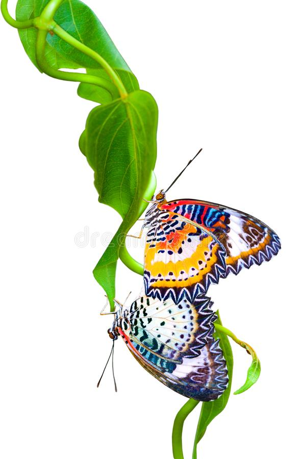 The bright orange butterfly is isolated on white background. The leopard lacewing butterfly,Cethosia cyane, is hanging on a Leaves . The bright orange butterfly royalty free stock image