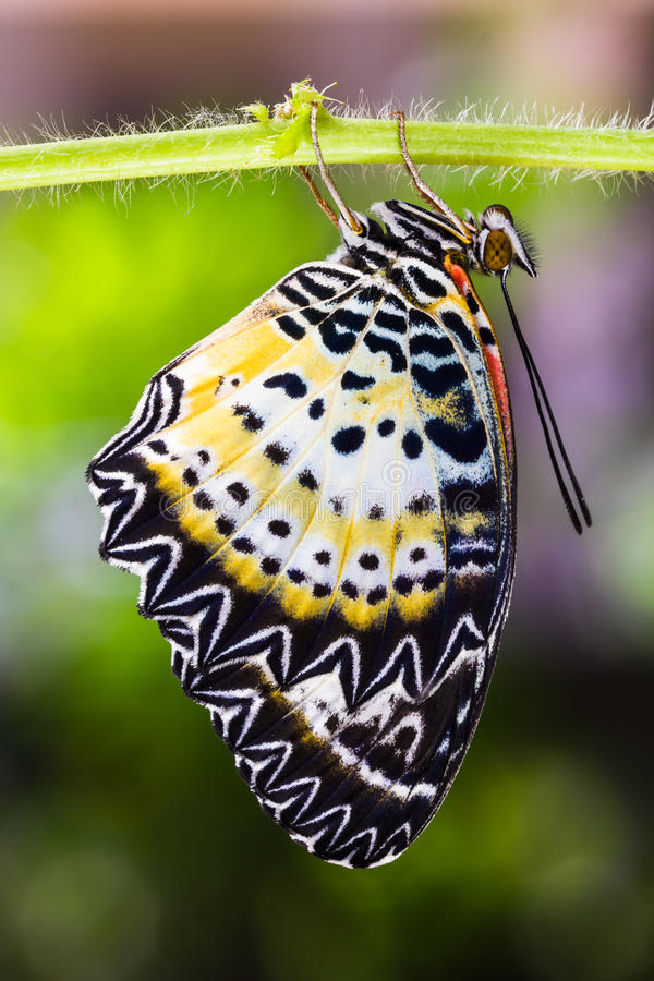 Leopard lacewing butterfly. Close up of new born leopard lacewing (Cethosia cyane euanthes) butterfly stock photography