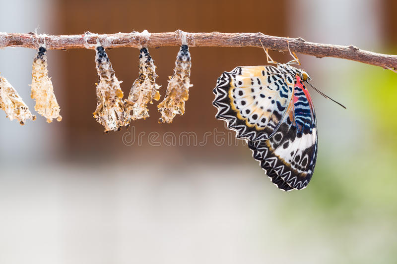 Leopard lacewing butterfly. Close up of new born Leopard lacewing Cethosia cyane euanthes butterfly after its emergence from its pupa royalty free stock photography