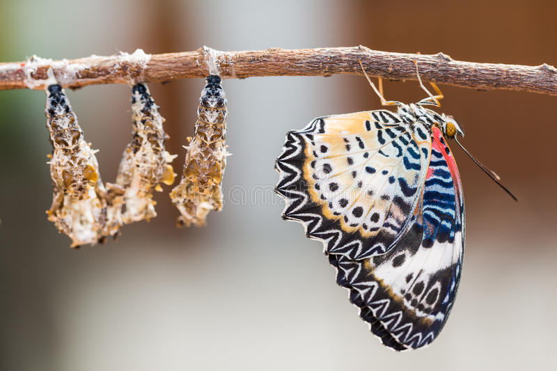 Leopard lacewing butterfly. Close up of new born Leopard lacewing Cethosia cyane euanthes butterfly after its emergence from its pupa stock photo