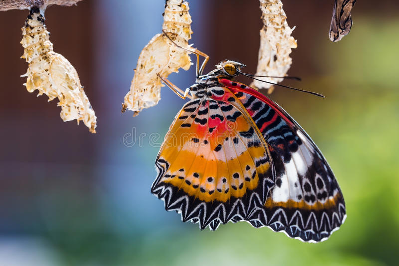 Leopard lacewing butterfly. Close up of new born male Leopard lacewing Cethosia cyane euanthes butterfly after its emergence from its pupa royalty free stock image