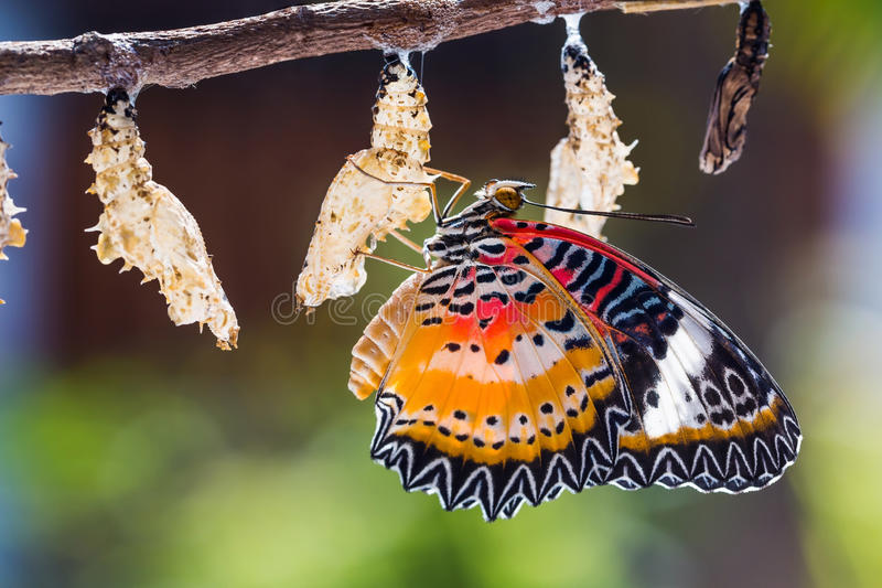 Leopard lacewing butterfly. Close up of new born male Leopard lacewing Cethosia cyane euanthes butterfly after its emergence from its pupa stock photography