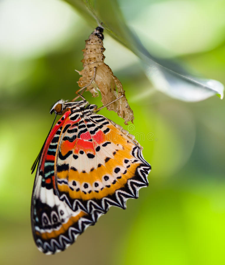 Leopard lacewing butterfly. Come out from pupa royalty free stock photography