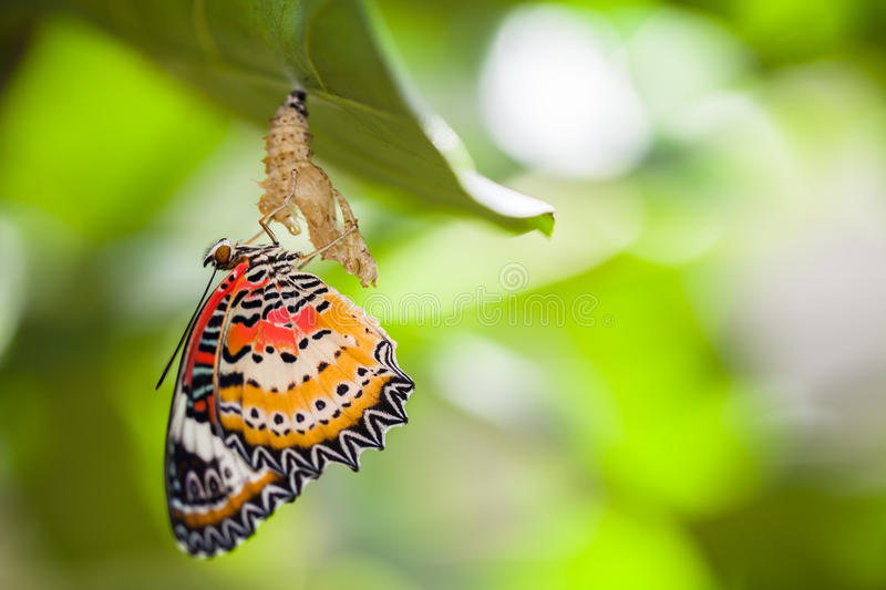 Leopard lacewing butterfly. Come out from pupa royalty free stock photo