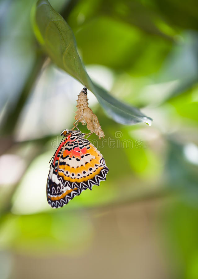 Leopard lacewing butterfly. Come out from pupa stock photography