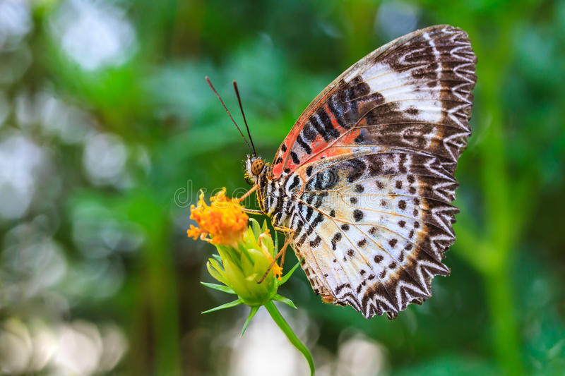 Leopard lacewing butterfly feeding on cosmos flower. In the garden royalty free stock photography