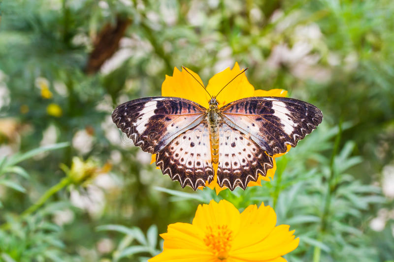 Leopard lacewing butterfly feeding on cosmos flower. In the garden stock images