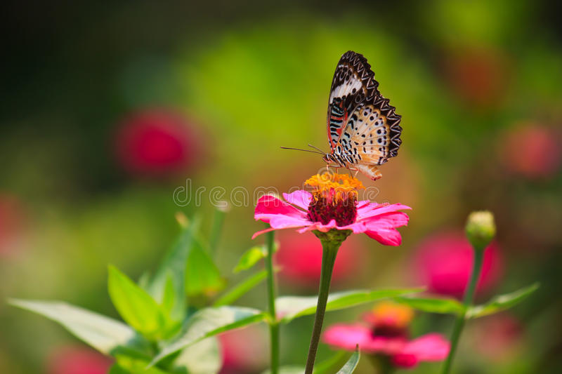 Leopard lacewing butterfly feeding on zinnia flower. In the garden stock photography