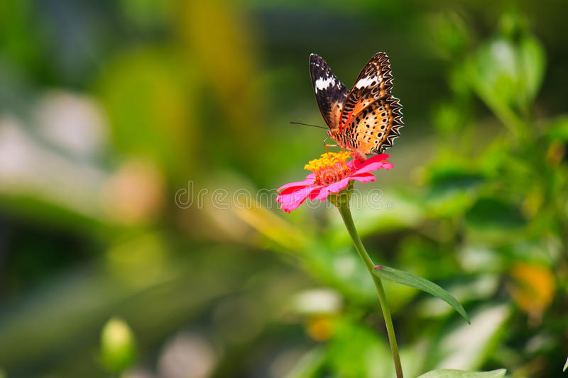 Leopard lacewing butterfly feeding on zinnia flower. In the garden royalty free stock image