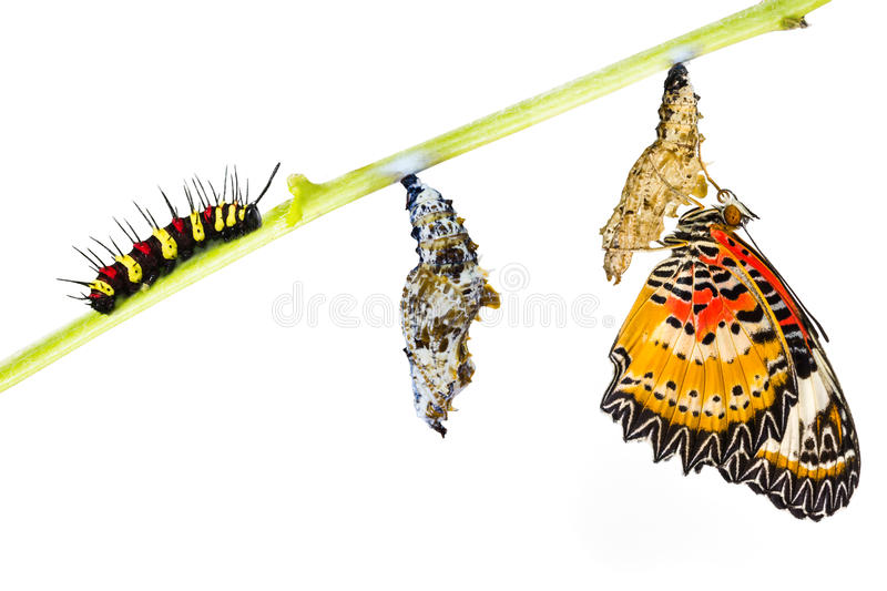 Leopard lacewing butterfly life cycle. Leopard lacewing (Cethosia cyane euanthes) butterfly , caterpillar, pupa and emerging royalty free stock photo