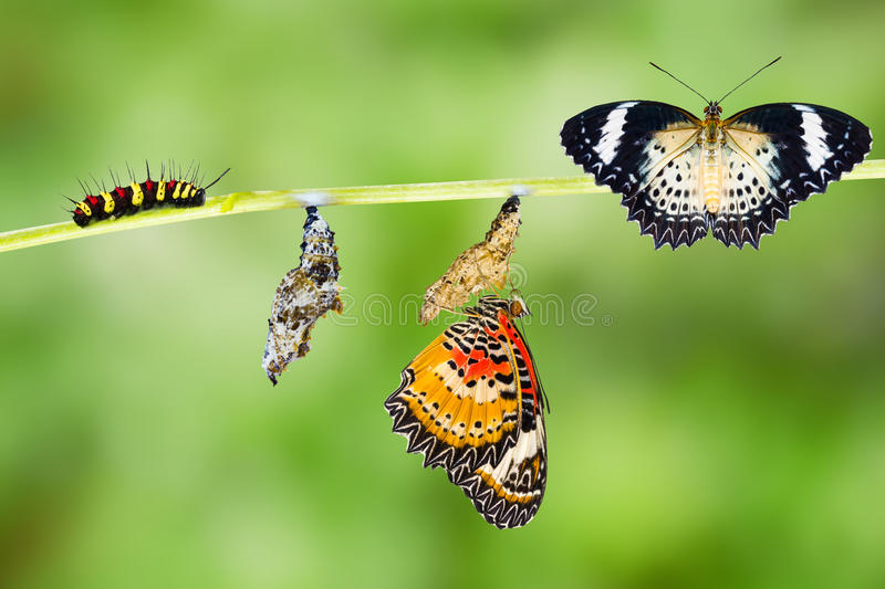 Leopard lacewing butterfly life cycle. Leopard lacewing (Cethosia cyane euanthes) butterfly , caterpillar, pupa and emerging stock photos