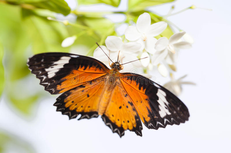 Leopard lacewing butterfly. With writhtia rekigiosa flower royalty free stock photo