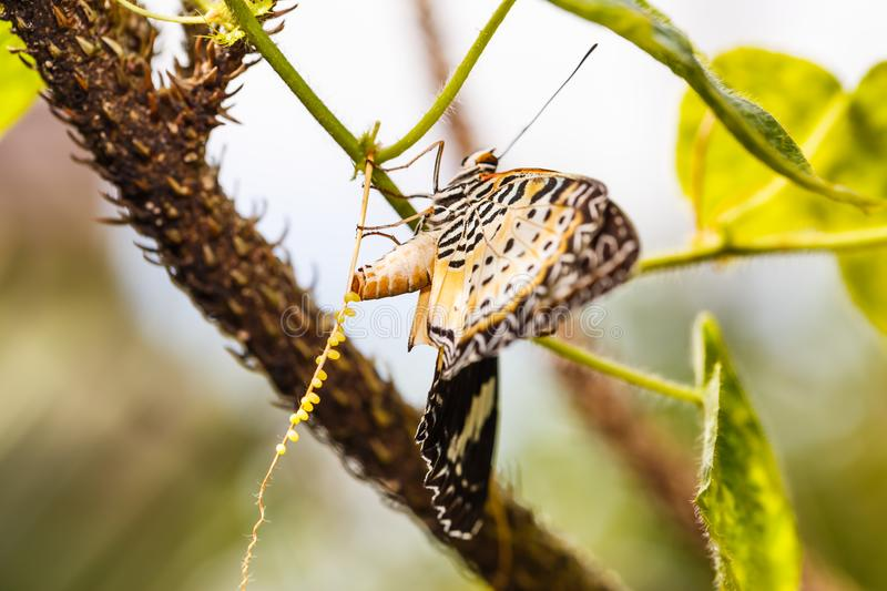 Leopard lacewing Cethosia cyane euanthes butterfly. Butterfly in nature, close up of female leopard lacewing Cethosia cyane euanthes butterfly lays eggs on its royalty free stock photo