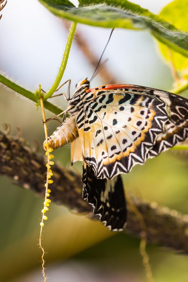 Leopard lacewing Cethosia cyane euanthes butterfly. Butterfly in nature, close up of female leopard lacewing Cethosia cyane euanthes butterfly lays eggs on its royalty free stock images
