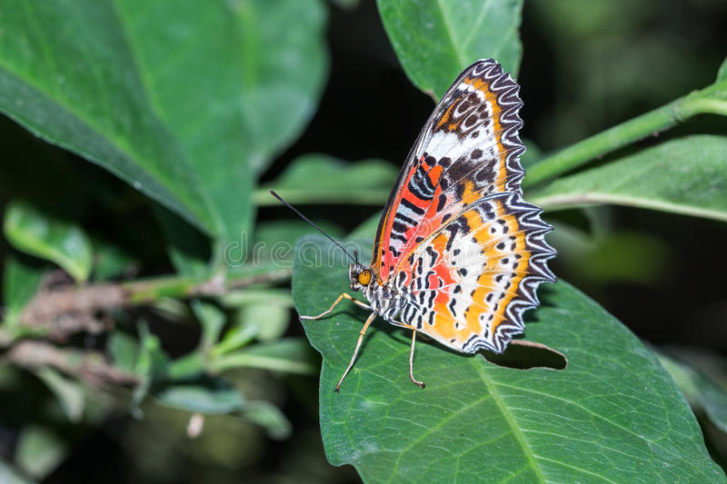 The Leopard Lacewingss Butterfly. The Leopard Lacewingss Cethosia cyane euanthes Butterfly on the green leaf royalty free stock images