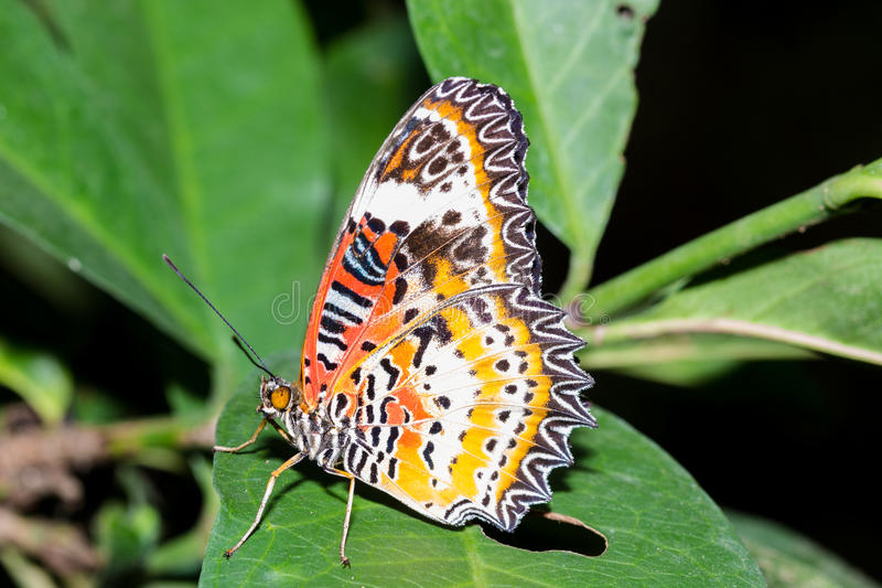 The Leopard Lacewingss Butterfly. The Leopard Lacewingss Cethosia cyane euanthes Butterfly on the green leaf stock photos