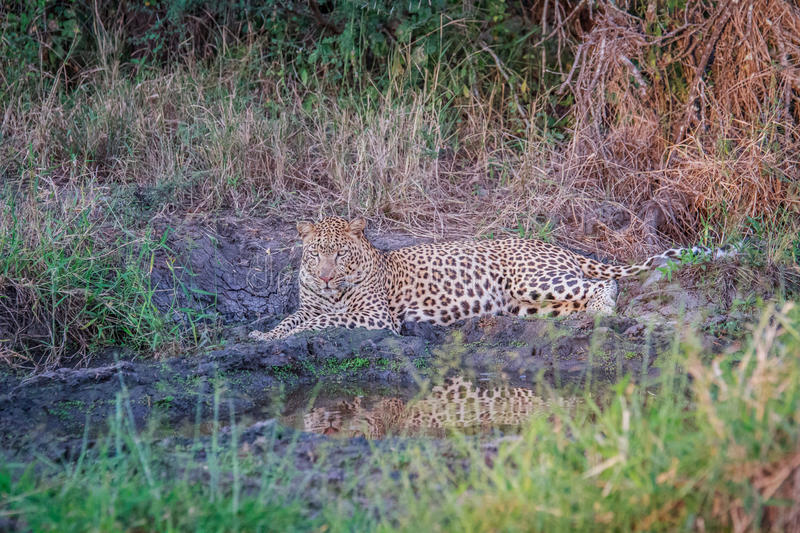 Download Leopard Laying In The Grass In The Spotlight. Stock Photo - Image: 83715490
