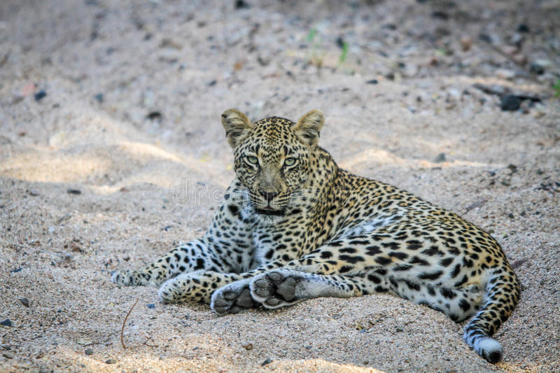 Download Leopard Laying In The Sand. Stock Photo - Image: 83724841