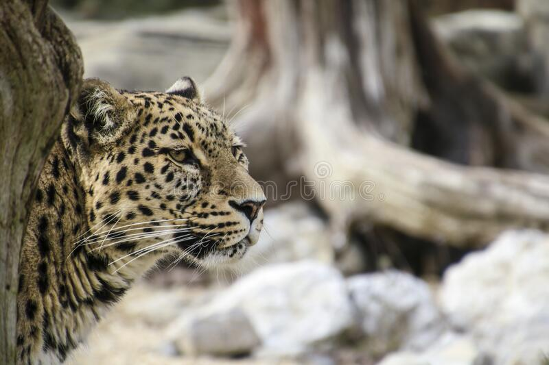 Leopard Leaning Behind Tree Free Public Domain Cc0 Image